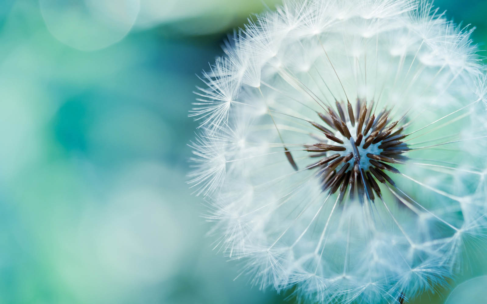 Dandelion Flowers Wallpapers 02
